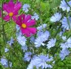 Un fiore azzurro pervinca