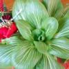 Una verdura di origine cinese
