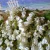 Un mare di fiori di Robinia